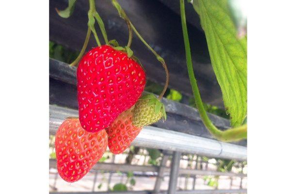 76532-草莓任採任吃