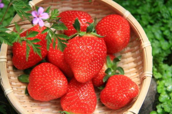 觀光農園採草莓1